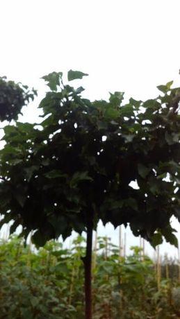 Drzewa ozdobne,brzoza pendula Magical Globe,Betula pend. Magical Globe