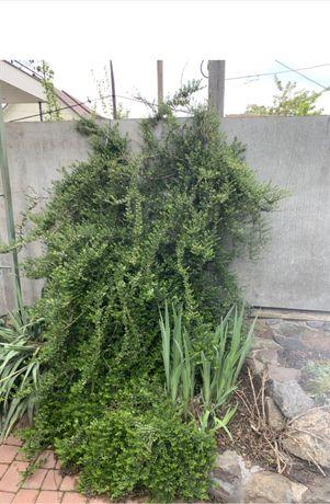 Продам садженці, жимолость подушковидна, вічнозелена.  Вінницч