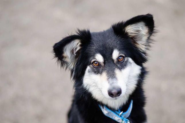 SHELBY - śliczna mini-husky mini-border collie do adopcji!
