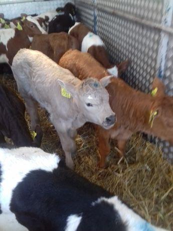 cielęta jałówki cielaczki byczki