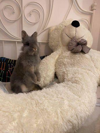Szary królik Teddy karzełek miniaturka