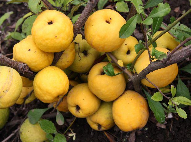 Pigwa Owoce Pigwowca Japońskiego z Ekologicznej Certfikowanej Plantacj