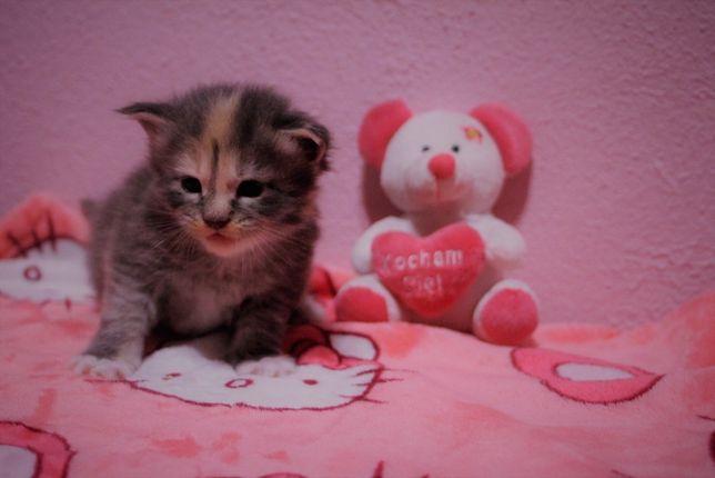 Piękna koteczka MCO - do rezerwacji - Hodowla Kadiska CCF FPL
