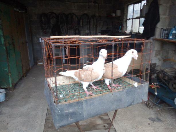 Sprzedam gołębie śląskie tarczowe, boki