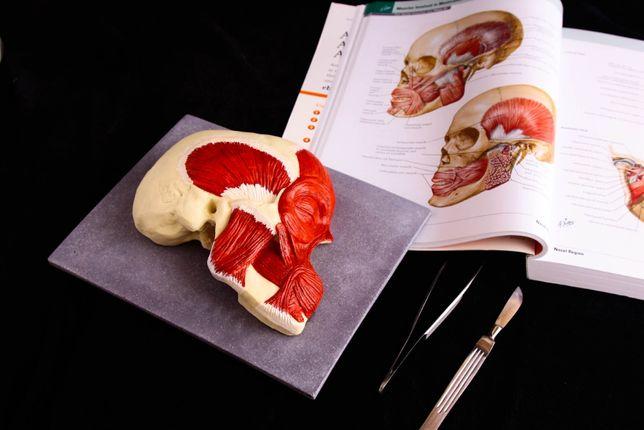 Череп. Новая анатомическая учебная модель головы. Анатомия.