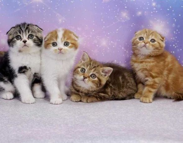 Прекрасные и самые чудесные шотландские котята