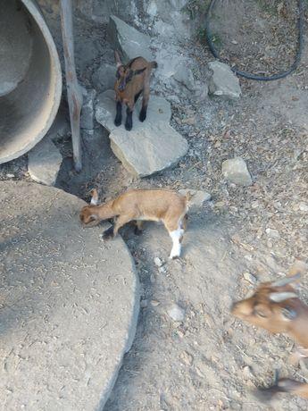 Vendo casal de cabras anãs