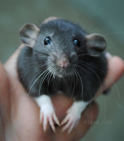 Крысенок дамбо. Ручная крыса.