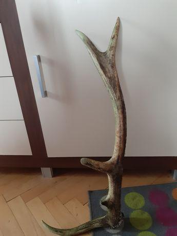 Róg jelenia ok 75 cm
