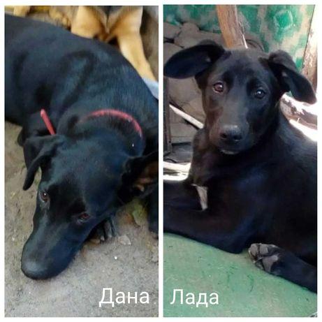 Дана и Лада, щенки цвета ночи, 5 мес, черная красивая собака