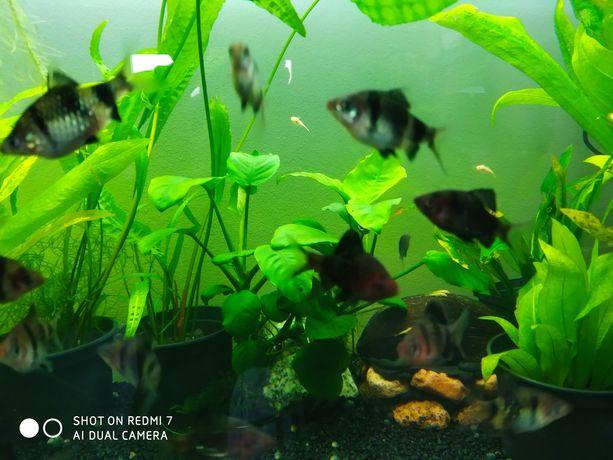 Rybki akwariowe brzanka mszysta