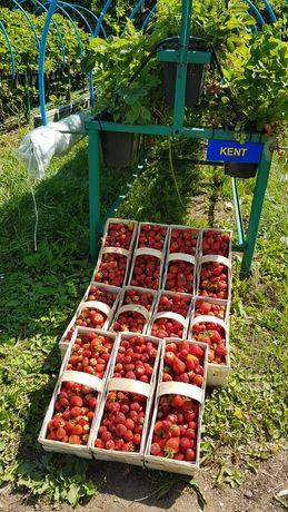Stoły ogrodnicze (tunel,folia,szklarnia) truskawki,kwiaty ,zioła itp