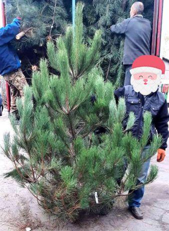 Сосна крымская новогодняя крымка в розницу елка ялинка
