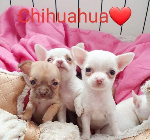 Piękne maluszki Chihuahua Zapraszam