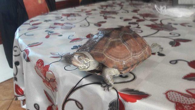 Żółw chiński żółw