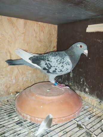 Gołębie Pocztowe, zagraniczne