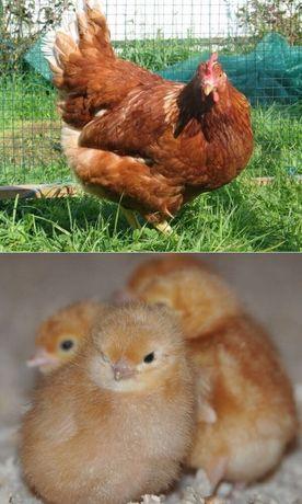 Куры цыплята Ломан Браун