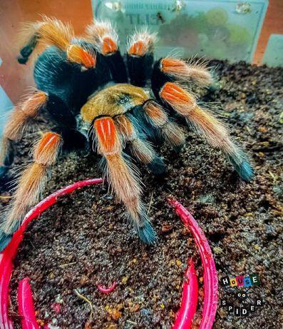 экзотическое животное паук птицеед для новичков boehmei брахипельма