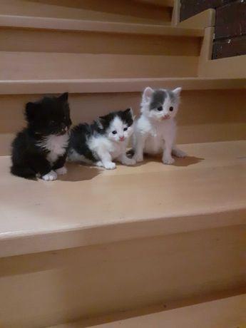 Подарую напівородні кошенята