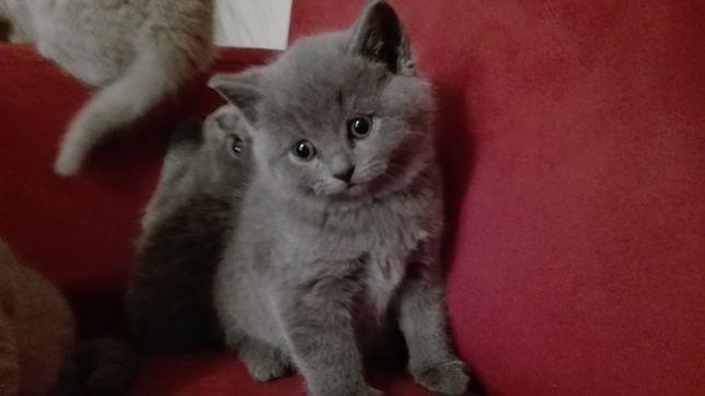 Kotki i Kocurki Koty Brytyjskie Niebieskie-z Prawem HODOWLANYM