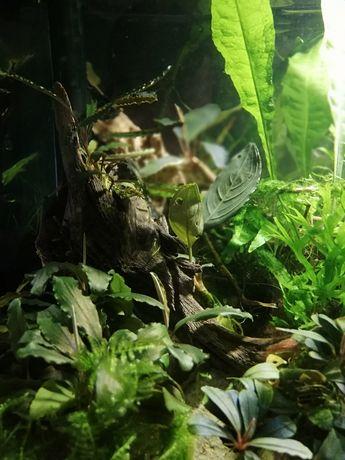 Bucephalandra, bucephalandra