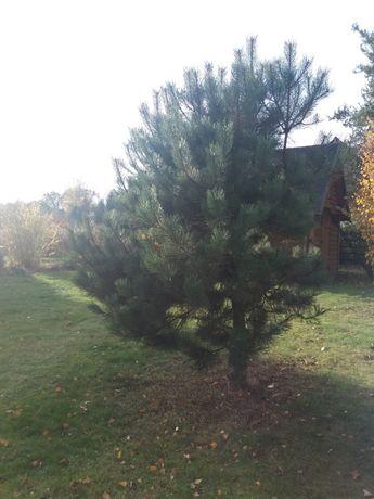 sosna czarna drzewo
