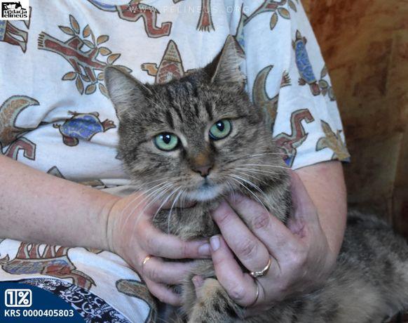 Bura kotka, mieszaniec z persem szuka domu