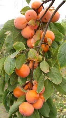 Інноваційне дерево хурми від українських агрономів