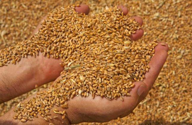 Зерно пшениця ячмінь ячмень пшеница