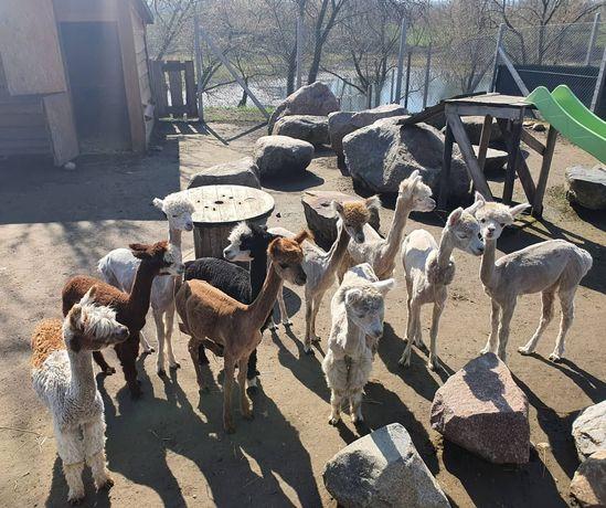 Alpaki huacaya, młode samice