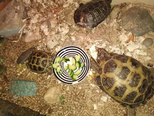 Среднеазиатские сухопутные чепепахи