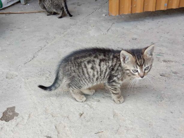 Szary kotek (kocica) oddam