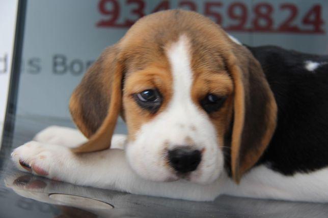 Cachorro Beagle com Lop