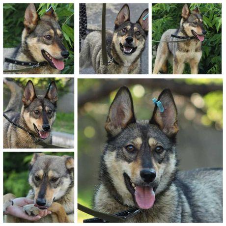 Собака Ариша, метис, похожа на хаски и волка, умница и красавица