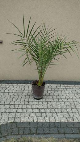Palma daktylowa 120 cm