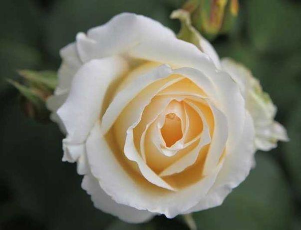 Róża wielkokwiatowa w doniczce biała Chopin (R09)