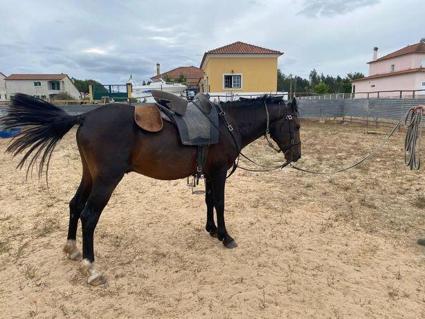 Cavalo castanho inteiro
