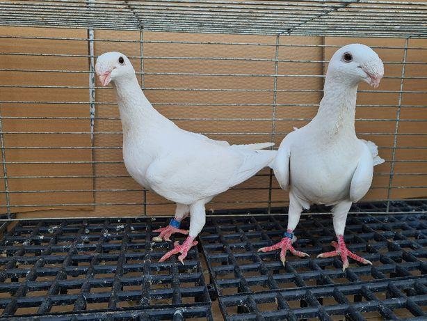 Gołębie niemieckie wystawowe