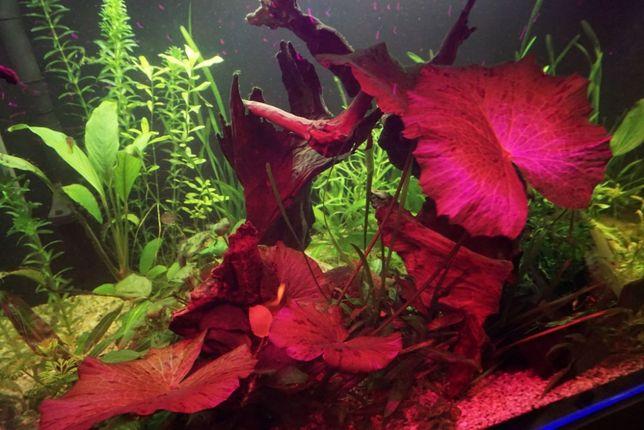 Lotos tygrysi czerwony duży rośliny akwariowe
