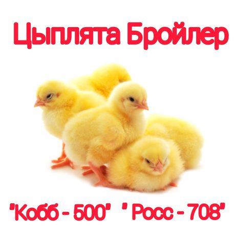 Цыплята Бройлер суточные