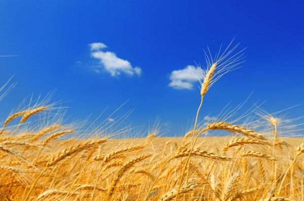 Покупаем зерно пшеница, ячмень, подсолнечник, принимаем на хранение