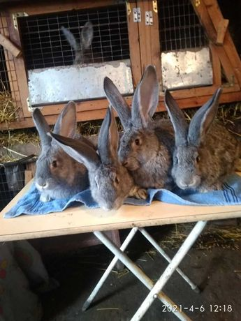 кролі європейська шиншила