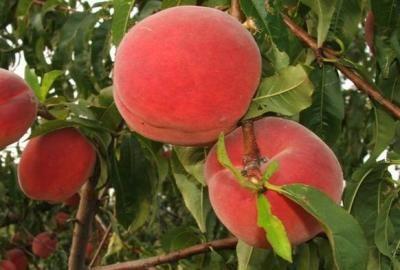 HERBARIUSZ - BRZOSKWINIA Inka - Duży owoc, niezawodna GK