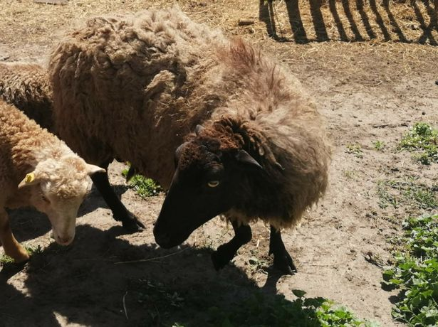 Продам овцематок овец баранов
