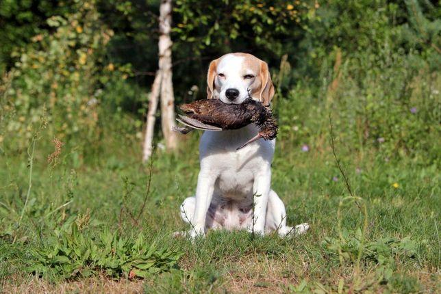 Реєстрація мисливської собаки в уоор для мисливських угіддь Львів
