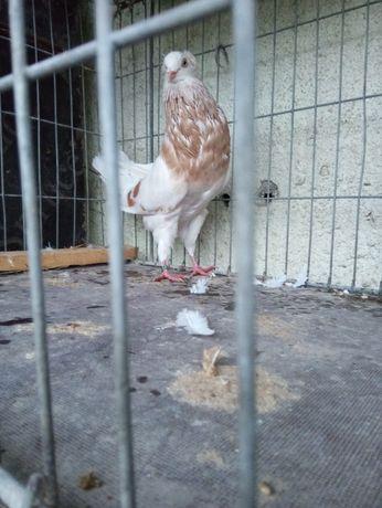 Gołębie ozdobne Garłacz