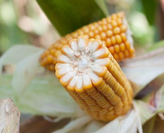 ROSOMAK - nasiona kukurydzy 80 tys nasion