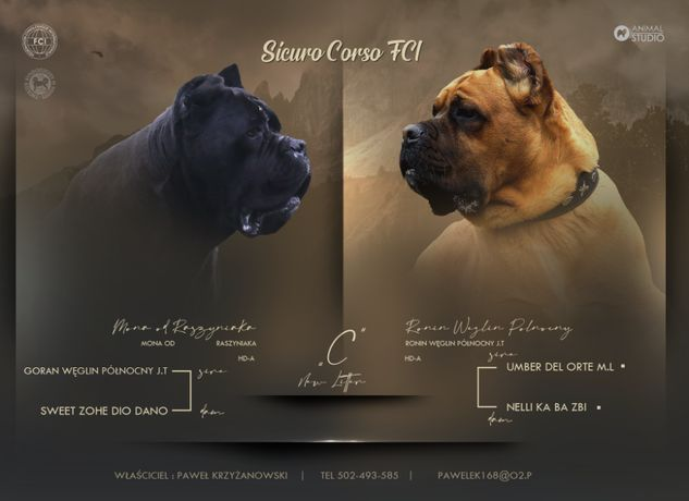 Szczenięta Cane Corso Italiano ZKwP/FCI hodowla Sicuro Corso