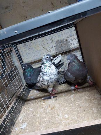 Gołębie Szaryki Orliki 14 sztuk