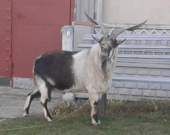Альпийский козел для случки коз